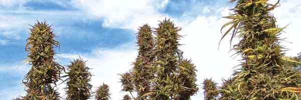 Buy Marijuana Clones For Sale Online | The Strainbank