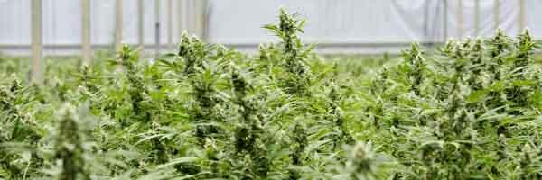 CLones For Sale   Buy Marijuana Clones For Sale Online